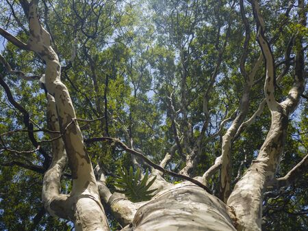 The tree from below. The tree is seen from below with the blue sky in the morning sun. Banque d'images - 145904981