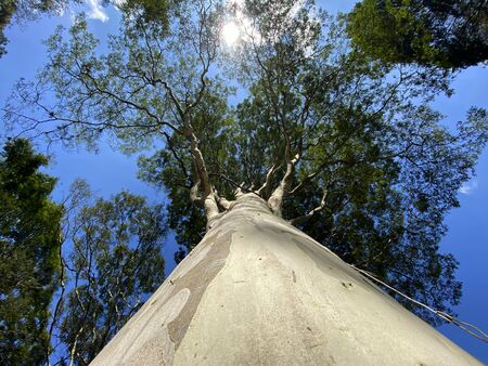 The tree from below. The tree is seen from below with the blue sky in the morning sun.