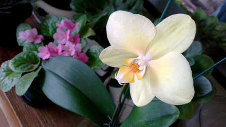 Light yellow orchids with pink-violet plant in the background.