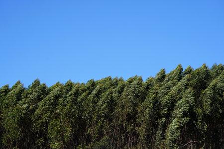 Eucalyptus trees on the blue sky background.