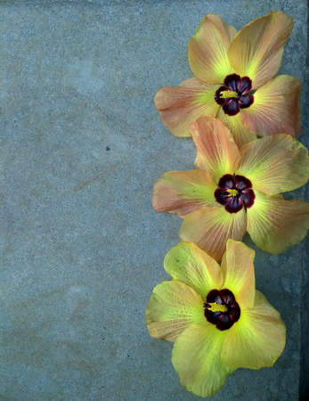 The flower art design. Natural background with copy space. Three Yellow Hibiscus Flower Blooming.