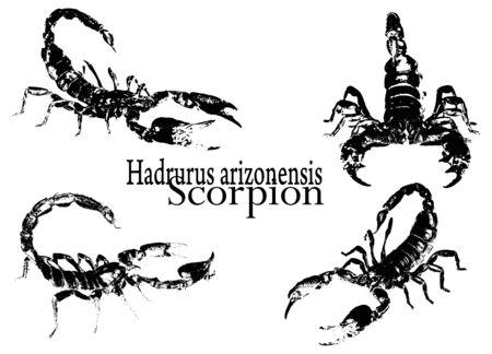 scorpion: scorpion vector Illustration