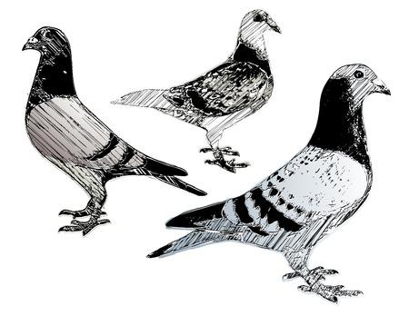 homer: pigeons