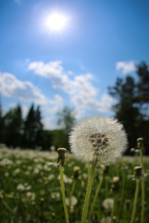 allergen: The blowballs on green meadow Stock Photo