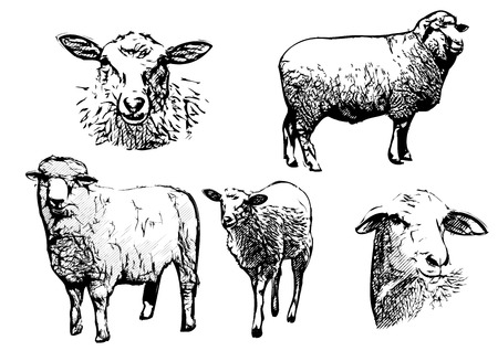 sheep illustrations Vectores