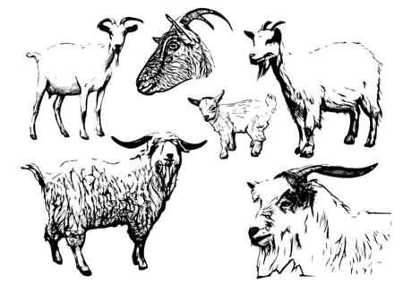 goat cheese: goat illustrations