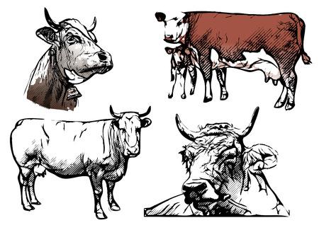 cow illustrations