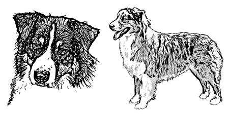 australian shepherd: australian shepherd illustration on white