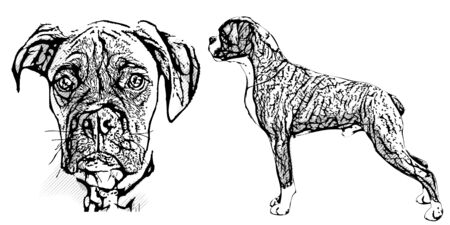 boxer illustration on white background