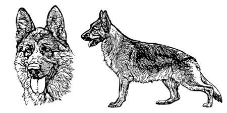 German shepherd illustration on white
