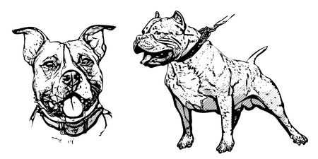 black and white pit bull: american pitbull terrier illustration on white Illustration