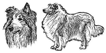 sable: collie vector illustration on white