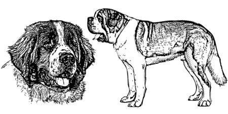 bernard: saint bernard dog vector illustration