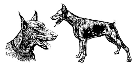 pinscher: doberman pinscher vector illustration Illustration