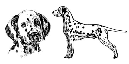 dalmatian: dalmatian illustration on white background