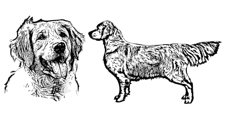 golden retriever puppy: golden retriever vector illustration