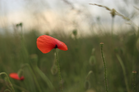 poppy blooming in field in late may Stock Photo