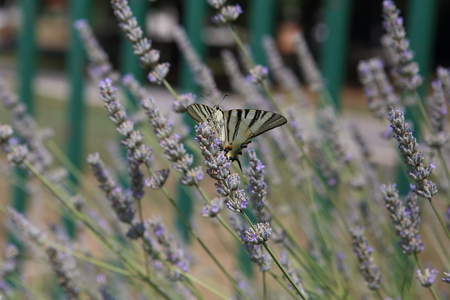 Yellow swallowtail butterfly sampling blooming lavender Stock Photo
