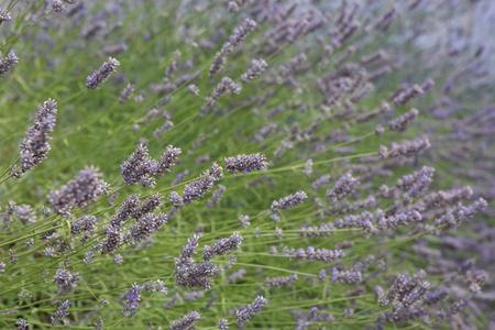 Lavender bushes closeup in nature