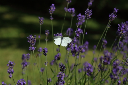 Closeup photo of a Cabbage White butterfly on lavender, with another butterfly in the background. Photo has short depth of field.
