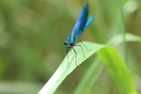 blue dragonfly on leaf by the river