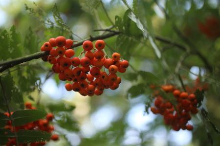Ripe red rowanberies on tree with green background Stock Photo