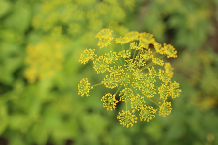 Blooming yellow dill ,Anethum graveolens, in the summer garden Stock Photo