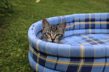 Sleepy kitten on soft blue pet bed in the garden 스톡 콘텐츠