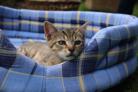 Sleepy kitten on soft blue pet bed in the garden 免版税图像