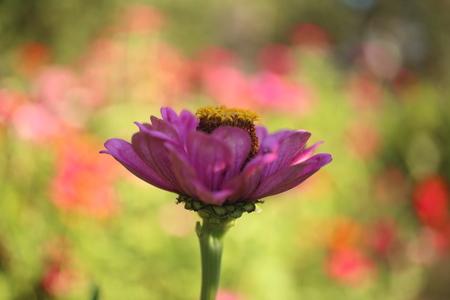 Zinnia flower, Zinnia violacea Cav. in the garden