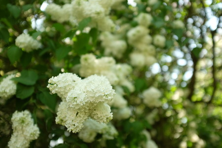 branch of white lilac blooming in spring in the garden Stock Photo