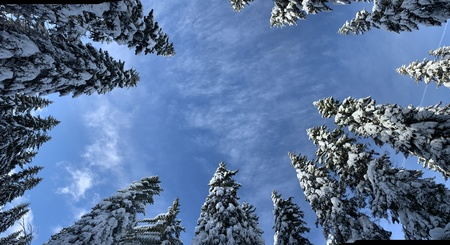 Bottom view to half circle of aspiring up the tops of snow-covered pines in winter day. 版權商用圖片