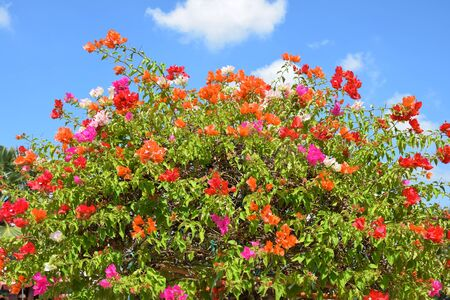 dazzlingly: Bougainvillea flower from Thailand