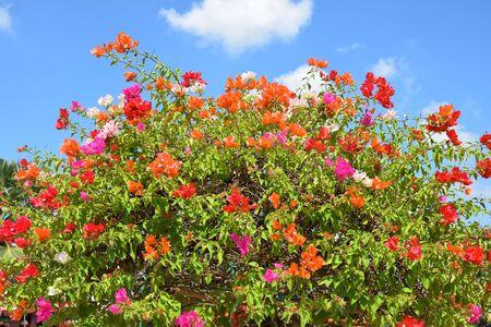 color bougainvillea: Bougainvillea flower from Thailand