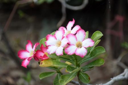 clima tropical: flores de lirio de impala. Lirio de impala. Rosa del desierto de flores de clima tropical. Flor color de rosa del clima tropical. Rosa del desierto. Azalea simulacro. Pinkbignonia. obesum