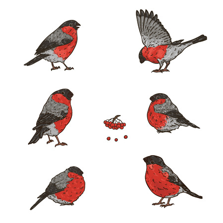 Set of hand drawn bright winter birds bullfinches