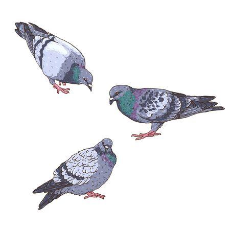 Set of hand-drawn vector pigeons. Urban birds