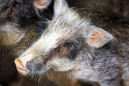 wil: Cute Wild Pig