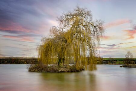 Weeping willow on the lake