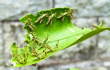 A Group of Grasshopper or Locust Babies Eating Leaves. Insect Macro Photography 免版税图像