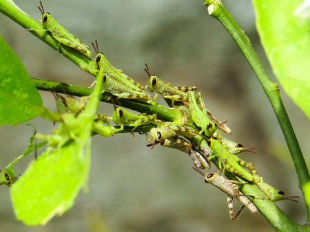 A Group of Grasshopper or Locust Babies are above the plant stalks. Insect Macro Photography
