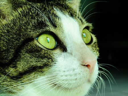 The Sharp Gaze of a Domestic Cat. This Cat is Staring at its Prey with Sharp Eyes