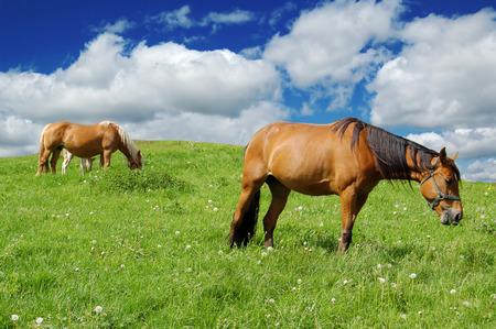 horses in a green field
