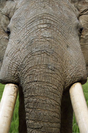 tusk: Stuffed elephant close-up on trunk and tusk