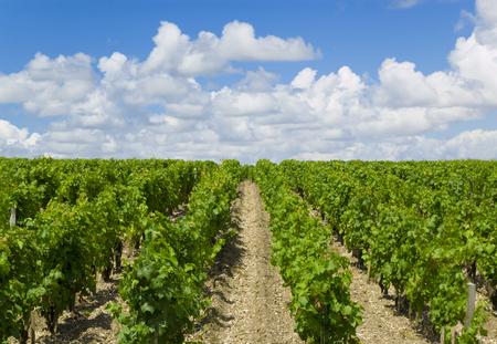Vineyard in Bordeaux Stock Photo