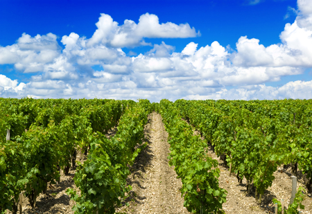 bordeaux: vineyard in bordeaux Stock Photo