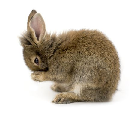 Small brown rabbit isolated on white