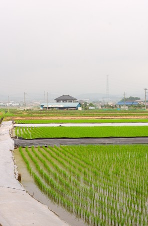 rice fields with water in Japan photo