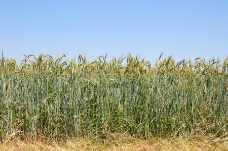 wheatfield: wheatfield on blue sky