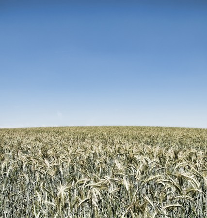 irrealistic wheatfield on blue sky photo